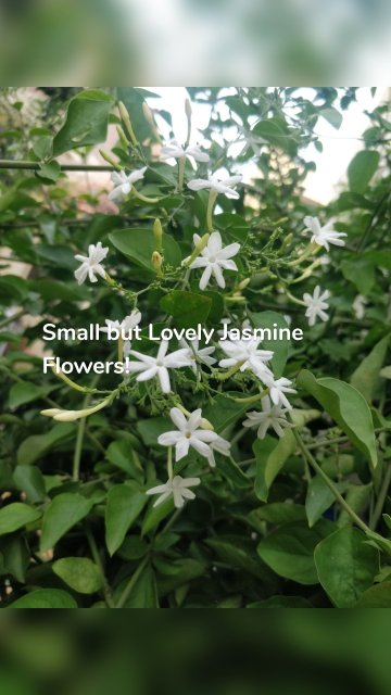 Small but Lovely Jasmine Flowers!